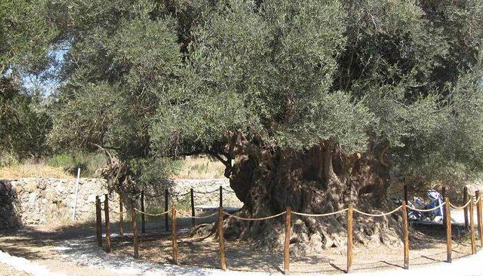 kavousi olivetree