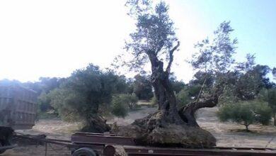 Photo of Αντιμετώπιση του δάκου στην ελιά (του Μάνου Κοκκινέλη)
