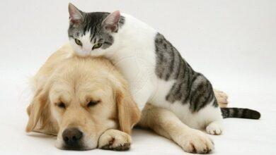Photo of Κορωνοϊός – Ερευνα: Μπορούν να κολλήσουν οι γάτες, δύσκολα οι σκύλοι