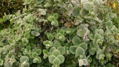 Photo of Δίκταμος: Ένα δημοφιλές κρητικό αρωματικό βότανο