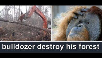 Photo of Συγκλονιστικό βίντεο – Ουρακοτάγκος προσπαθεί να σώσει το δάσος του (video)