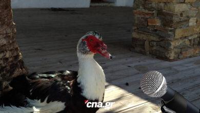 Photo of Αγιος Νικόλαος: Συνέντευξη από μία πάπια στο παρκέ της λίμνης…!!!