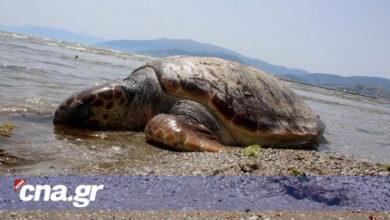 Photo of Νεογέννητη χελώνα βουτά για πρώτη φορά στη θάλασσα (video)