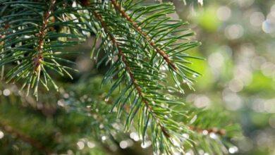 Photo of Η ιστορία του Χριστουγεννιάτικου δέντρου