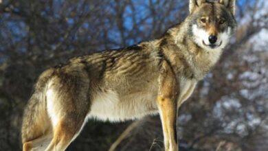 Photo of Μελέτη: Οι λύκοι της Πάρνηθας απειλούν τους πληθυσμούς ελαφιών