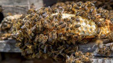 Photo of Με ποιο τρόπο η Ευρωπαϊκή Ενωση θα επιχειρήσει να σώσει τις μέλισσες