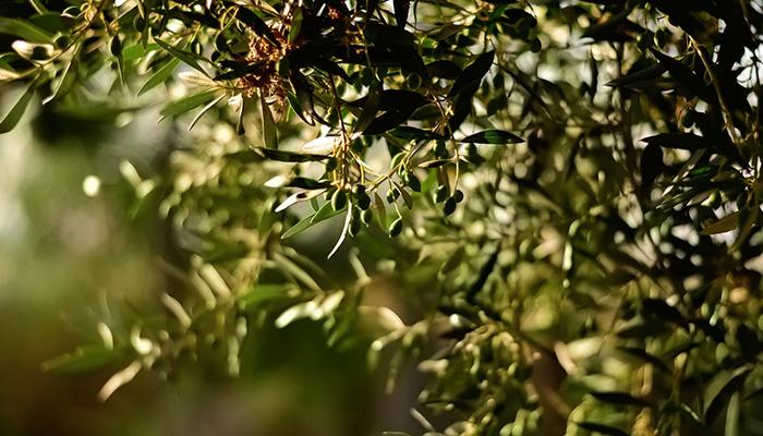 elia oil olive
