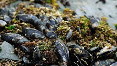 Photo of Ατλαντικός: Μεταδοτικός καρκίνος εξαπλώνεται ραγδαία από μύδια