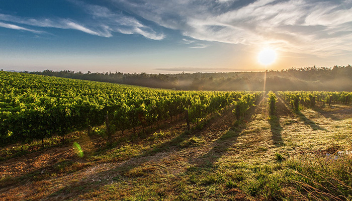 abelia wine