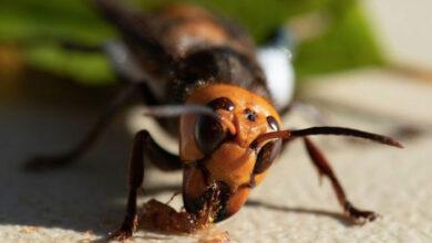 Photo of ΗΠΑ: Επιστήμονες βρήκαν για πρώτη φορά φωλιά με σφήκες «δολοφόνους»