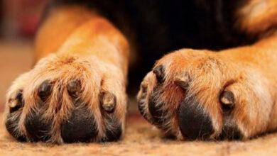skylos dog