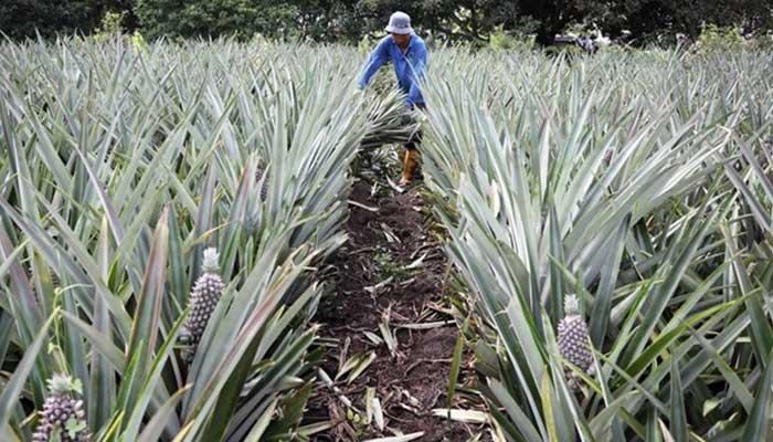 ananas kalliergeia
